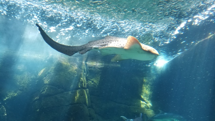A shark at the Waikiki Aquarium.
